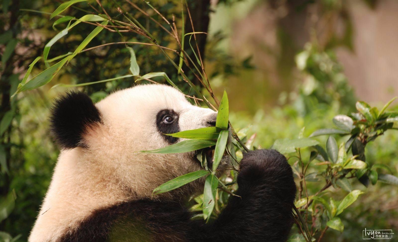 熊猫2.jpg