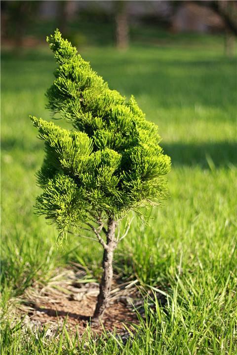 小松树.jpg