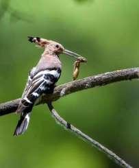 九张高清图,看银川的戴胜鸟如何喂娃!